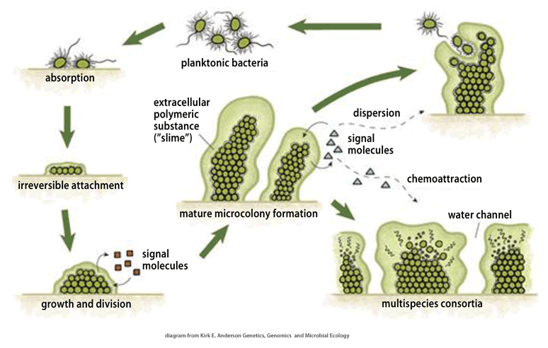 Biofilms Diagram